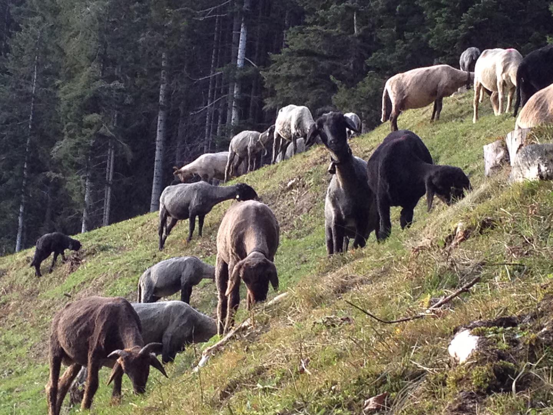 Alpine Steinschafe